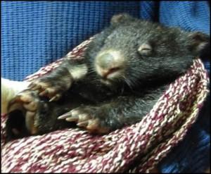 Settling wombat a
