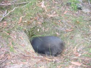 Wombat updates 017
