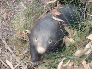 Wombat updates 024