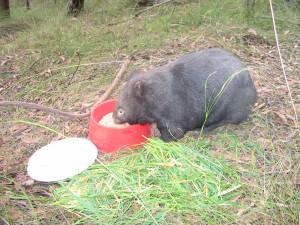 Wombat updates 026