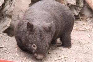 Wombat websize border