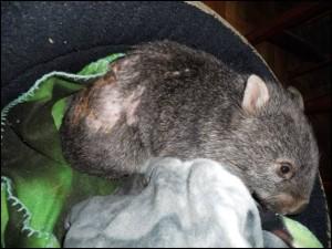 wombat attack c. p.32