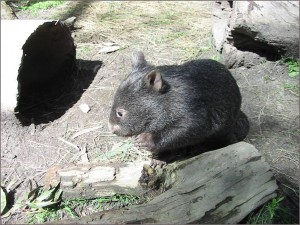 wombat enclosure websize