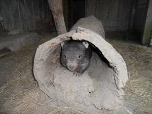 wombat in log websize