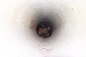 wombat in pipe b websize