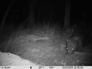wombat on camera websize