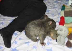 wombat playtime