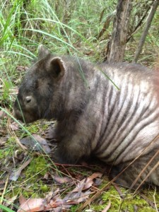 wombat with mange websize